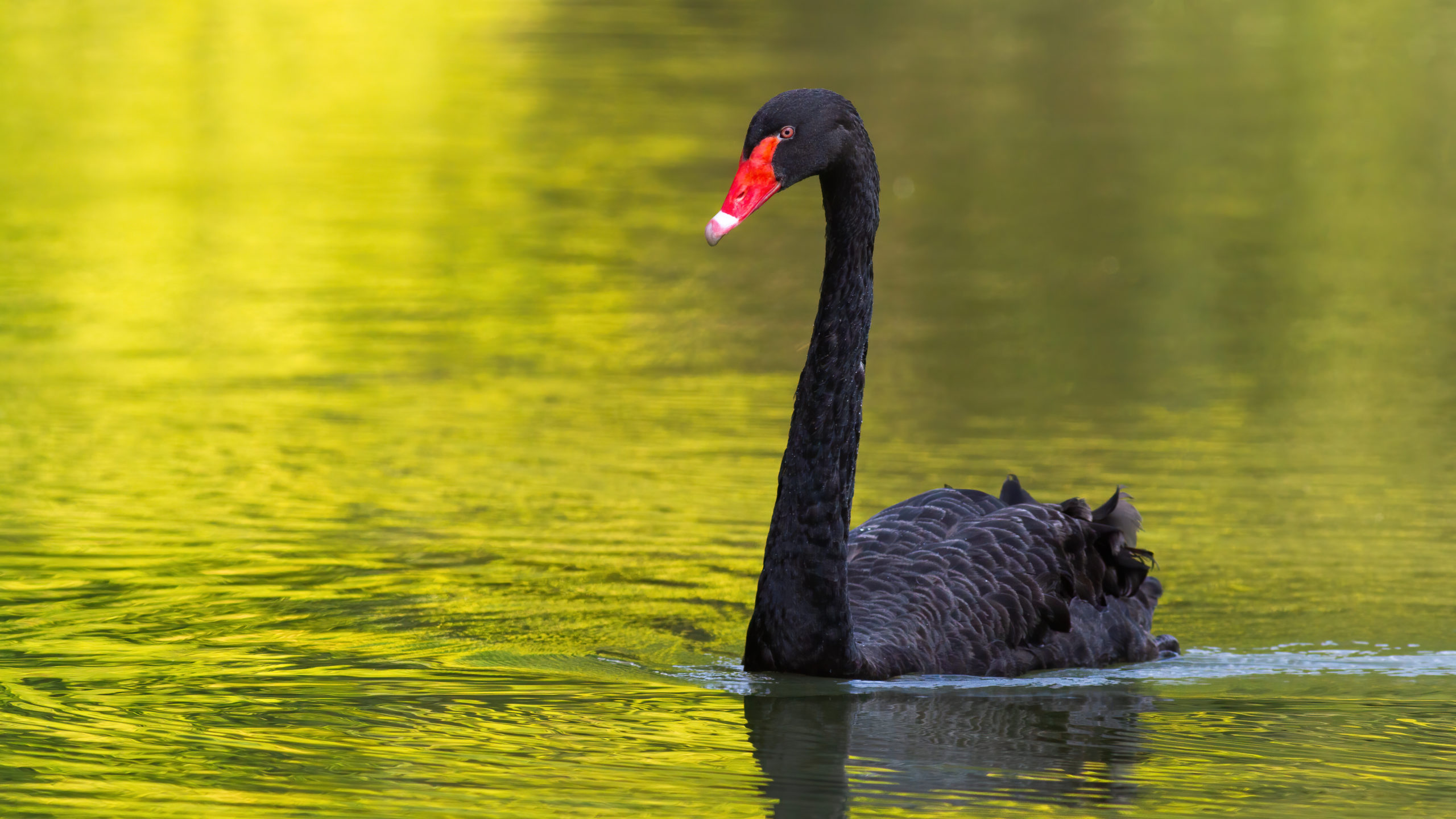 black swan siyah kuğu