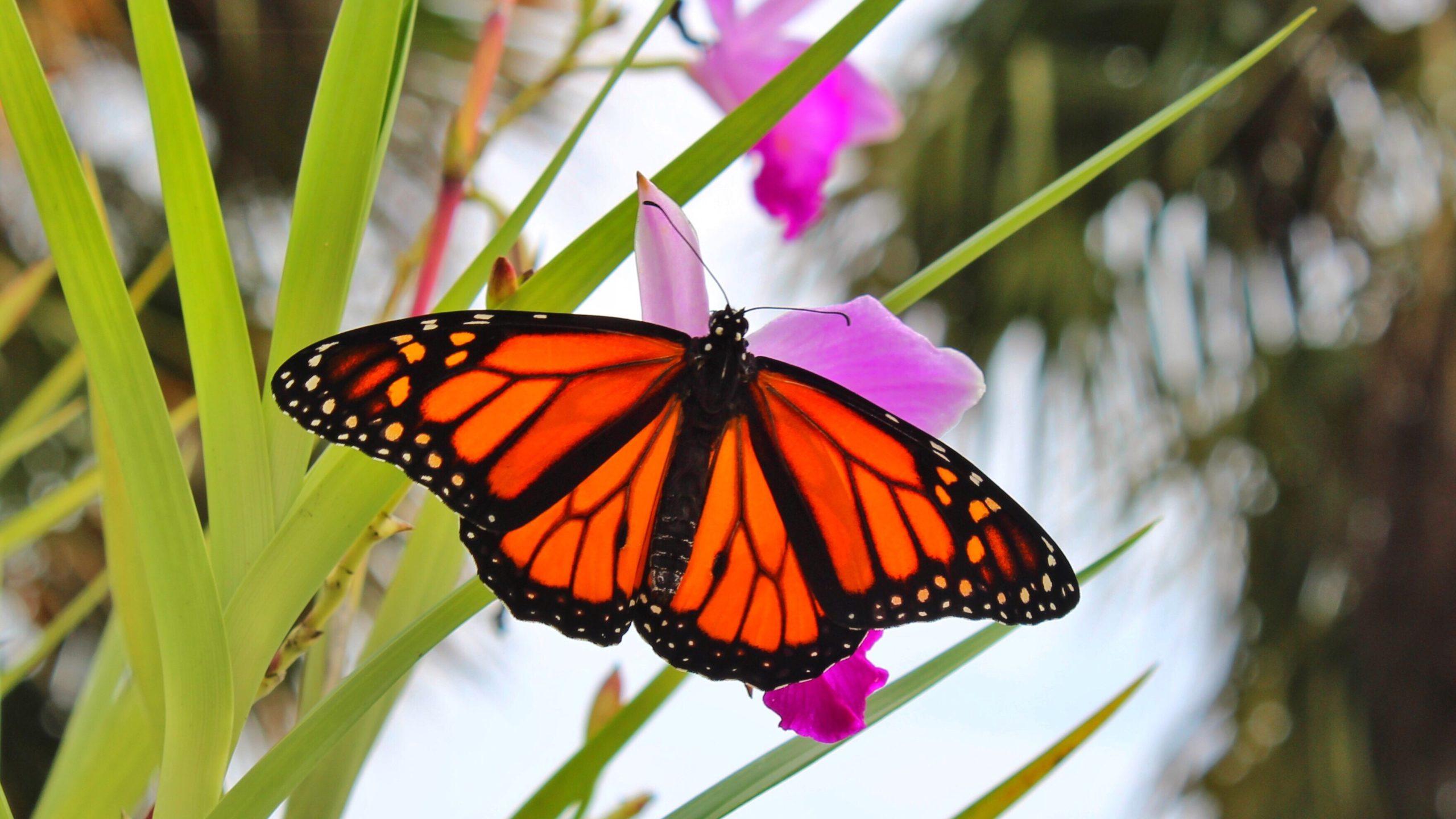 butterfly kelebek