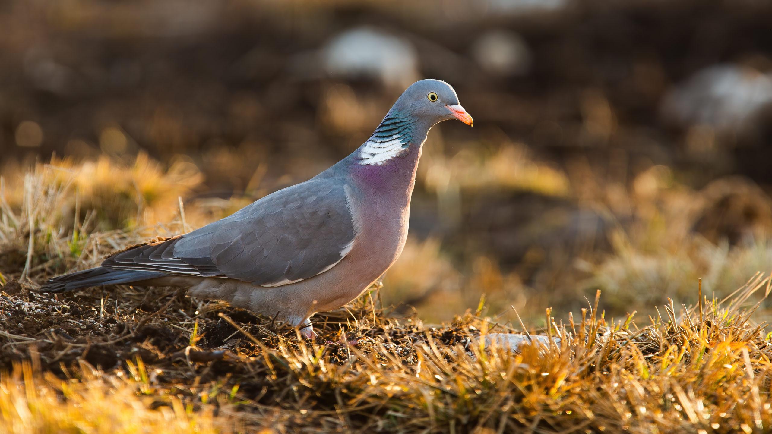 pigeon güvercin