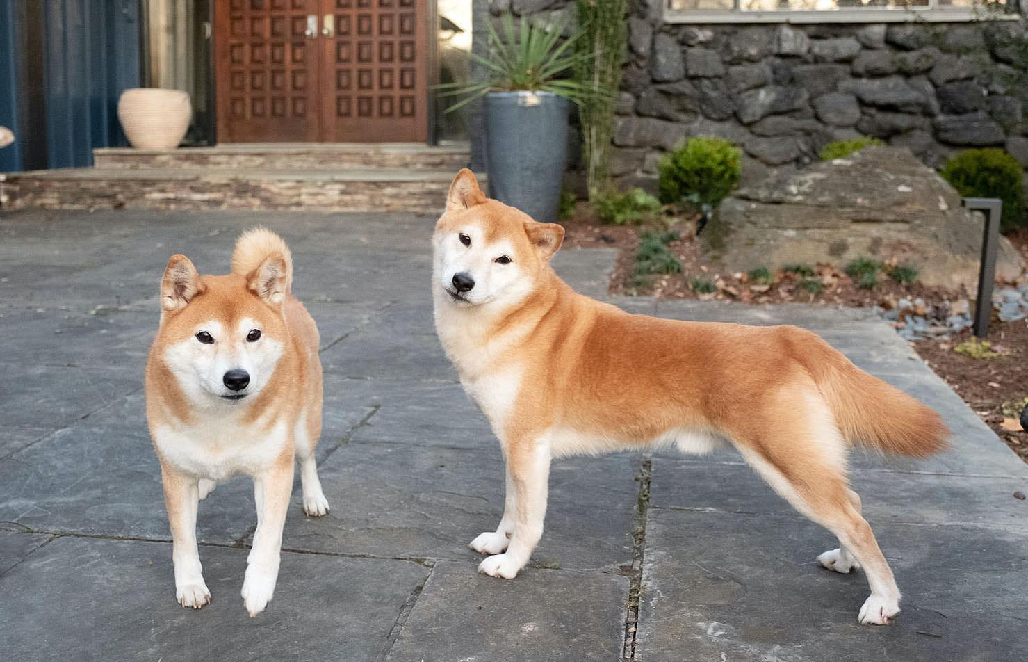 doge shib 1